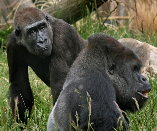 New Female Gorilla Causes A Stir at London Zoo